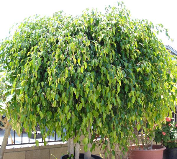 Plant-CT