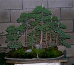 Nana juniper