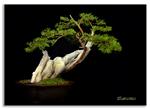 Bonsai Gallery Image