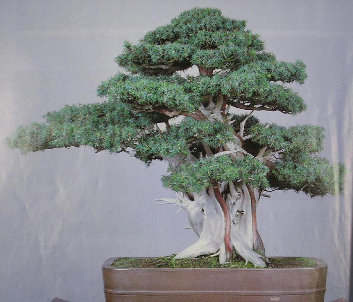 Bonsai Gallery Image